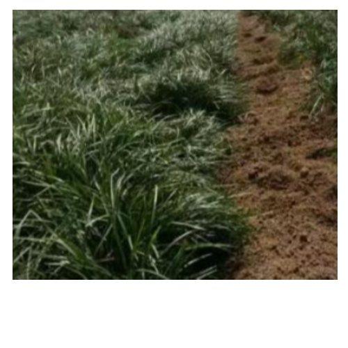 细叶麦冬草  哪有卖细叶麦冬草  细叶麦冬草基地