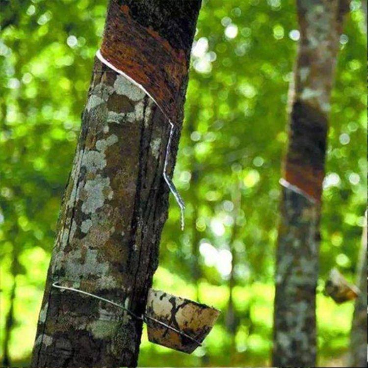三棵树亚么尼亚胶供应商 亚么尼亚胶批发 鲁储化工