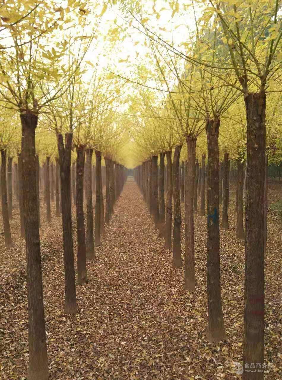 昌吉胸径30公分皂角树价格-70公分以上皂角树价格100年的皂角树值
