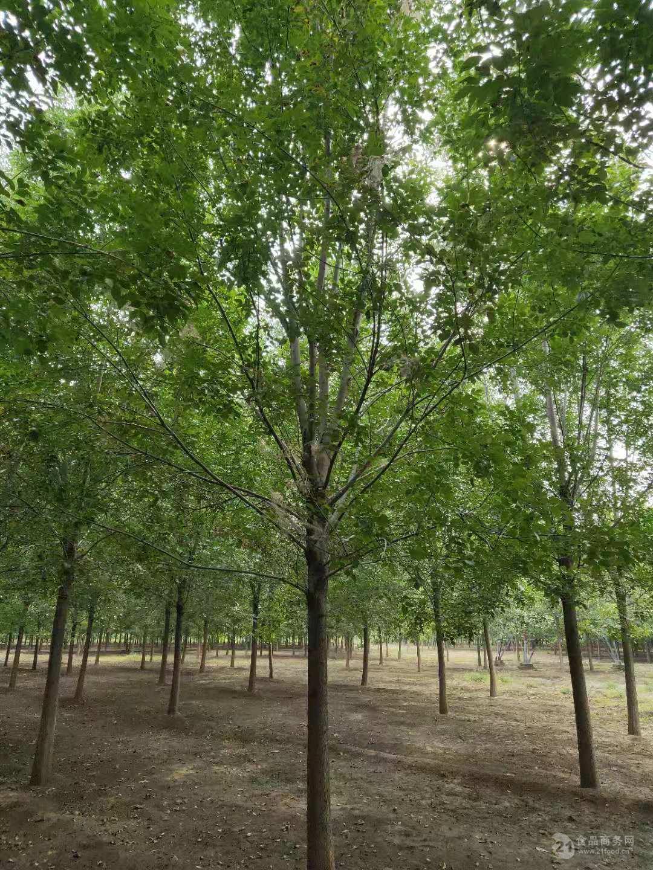 沈阳胸径30公分皂角树价格-70公分以上皂角树价格100年的皂角树值