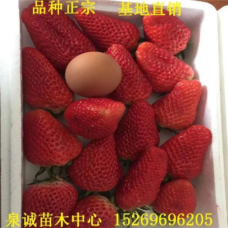 新品种草莓苗批发价格 草莓苗基地出售优质草莓苗种苗生产苗