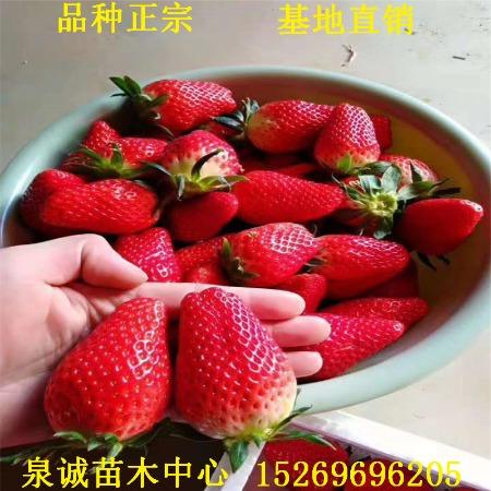 草莓基地出售妙香七号草莓苗 品种正宗 泉诚苗木大量批发妙香7号草莓苗