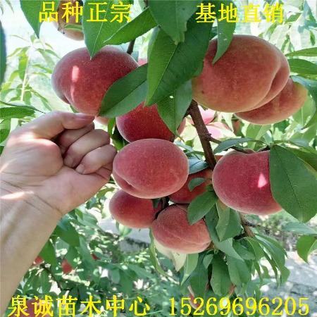 桃树苗 基地出售桃树苗品种 春丽 突围 春晓 春雪桃树苗