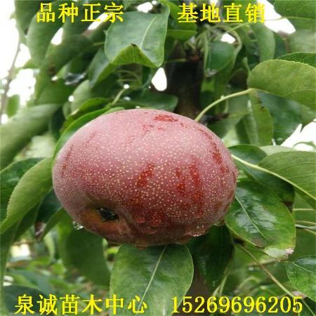 梨苗基地出售红梨树苗 全红梨树苗基地 全红梨树苗价格 全红梨树苗批发