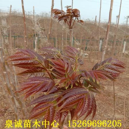香椿苗基地批发优质红油香椿苗 食用香椿苗 椿树苗 矮化香椿苗
