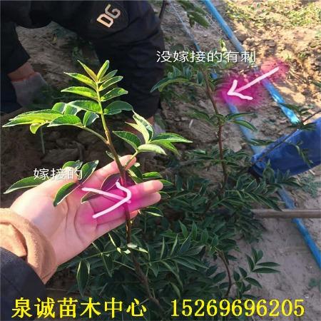 无刺花椒苗 苗圃出售优质嫁接无刺花椒苗 高产无刺花椒树苗