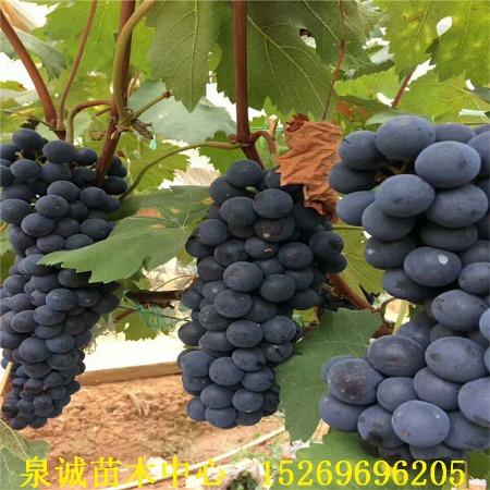 葡萄苗品种 苗圃批发优质葡萄树苗 夏黑葡萄苗 红提葡萄苗 黑提葡萄苗 品种多样欢迎选购