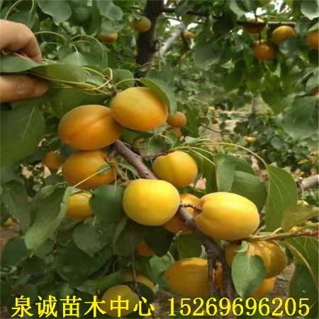 苗圃批发杏树苗 丰圆红丰杏树苗 珍珠油杏树苗 凯特杏树苗 品种杏树苗