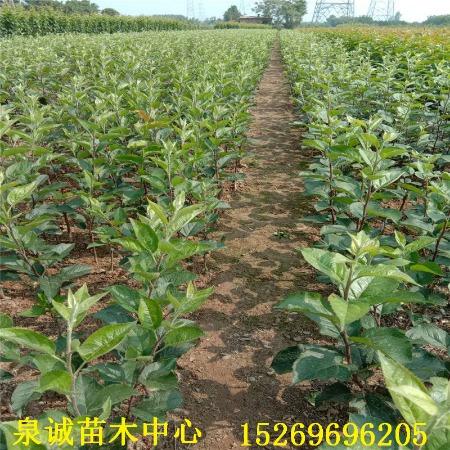 苹果苗基地批发优质苹果实生苗 苹果原生苗 苹果直生苗 苹果芽苗