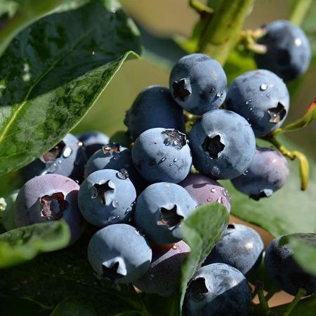 山东基地批发三年奥尼尔_钱德勒_蓝丰蓝莓苗丨莱克西蓝莓苗_孔明农业
