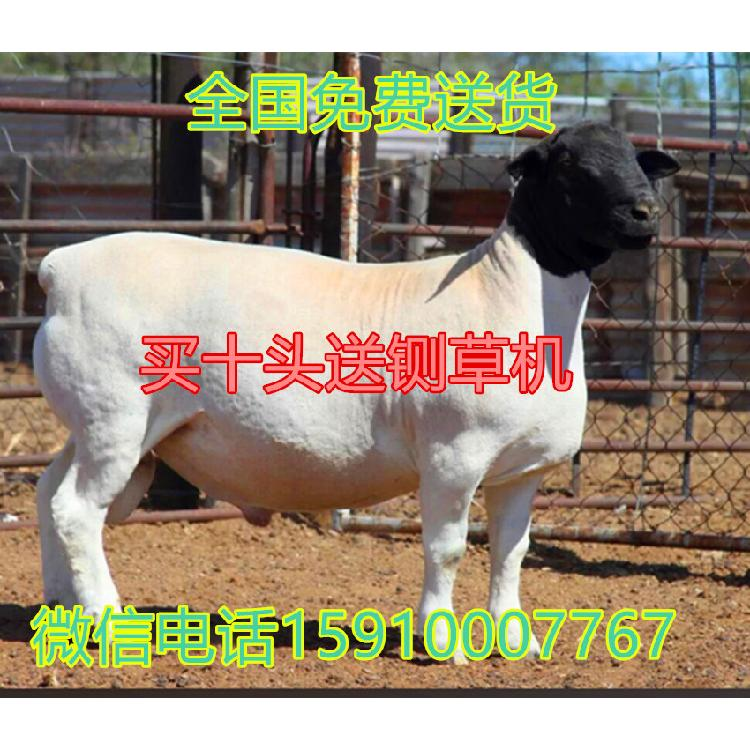 杜泊羊 杜泊羊价格 杜泊羊养殖场 杜泊羊价格 杜泊羊养殖基地 杜泊羊多少钱一头