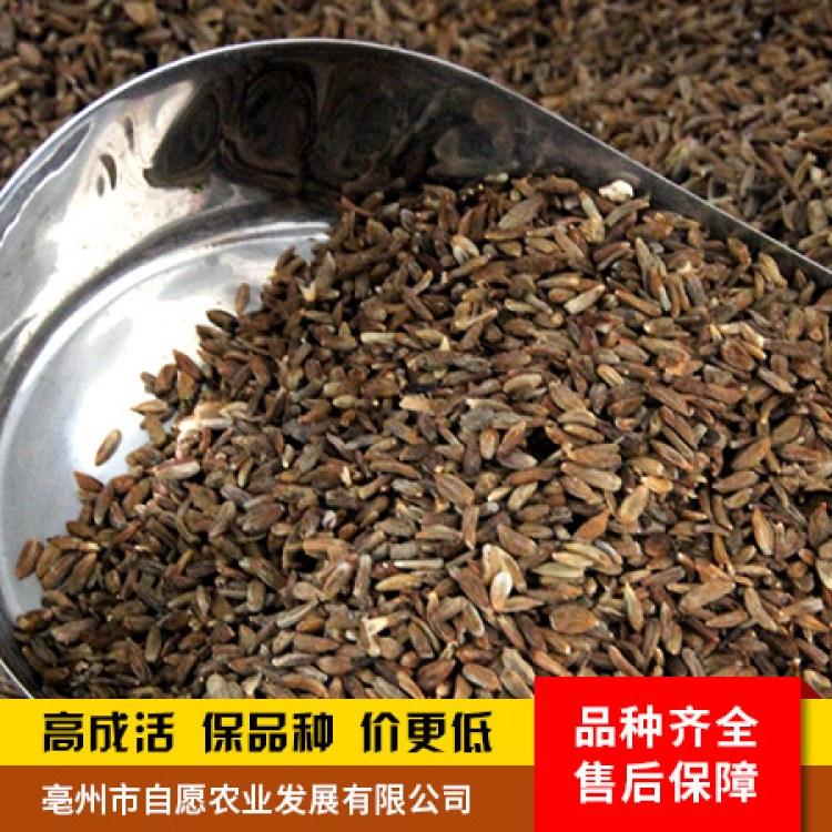 白术种子 药都亳州新采种子 发芽率高 包回收 供产销一站式服务【亳州自愿农业种植】