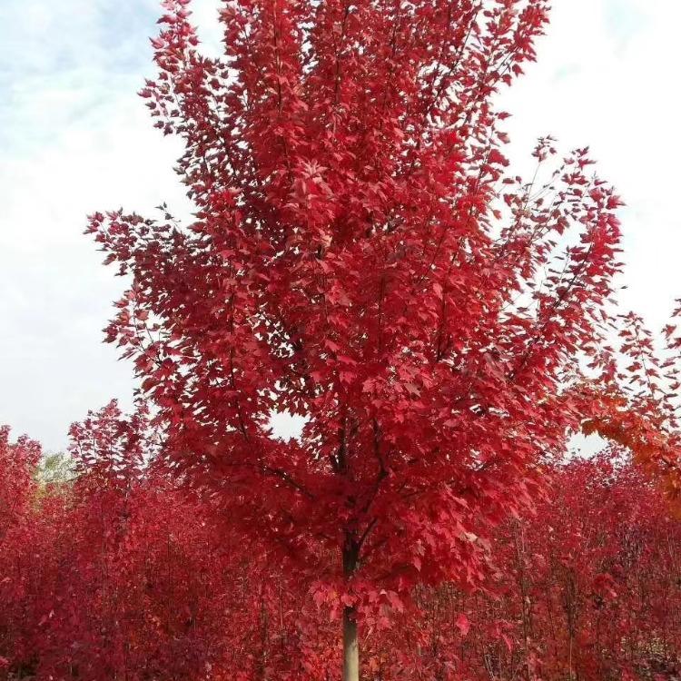 凤利苗圃基地供应-红冠红枫树-美国红枫十月光辉-各种规格价格美丽