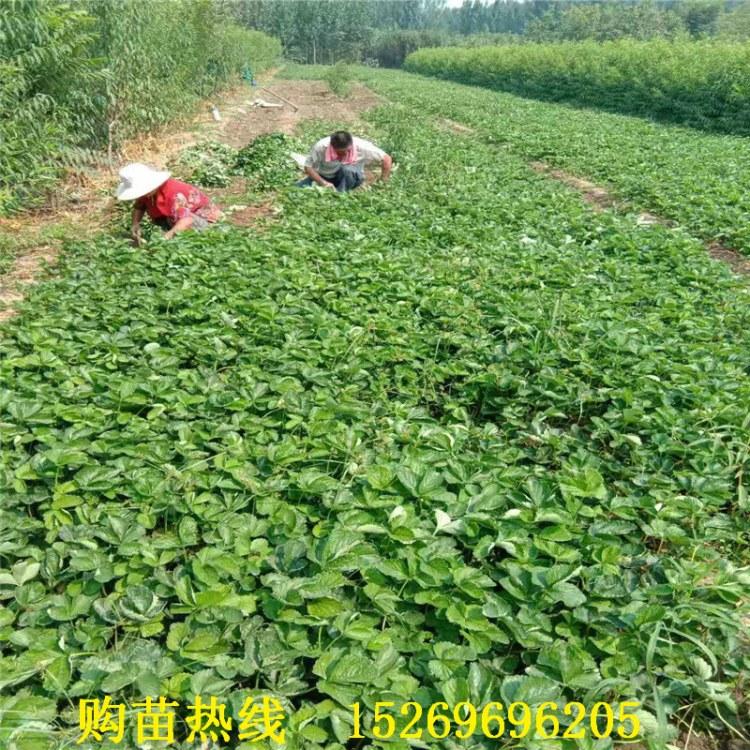 高产硬果草莓苗新品种 甜查理草莓 法兰地草莓 202草莓苗