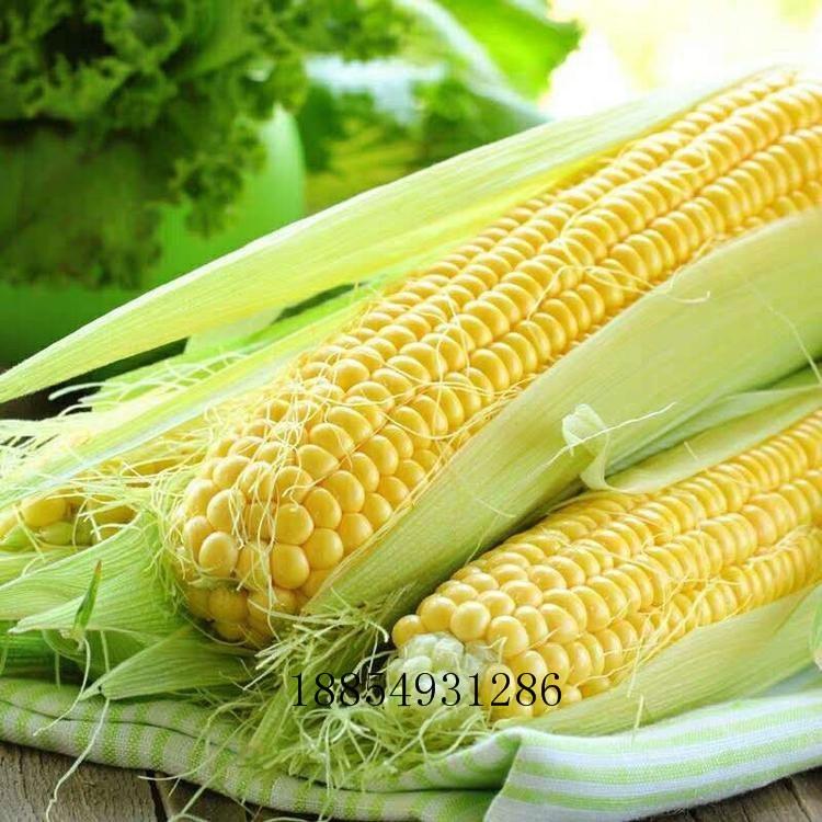 销售水果玉米种子 水果玉米种子批发