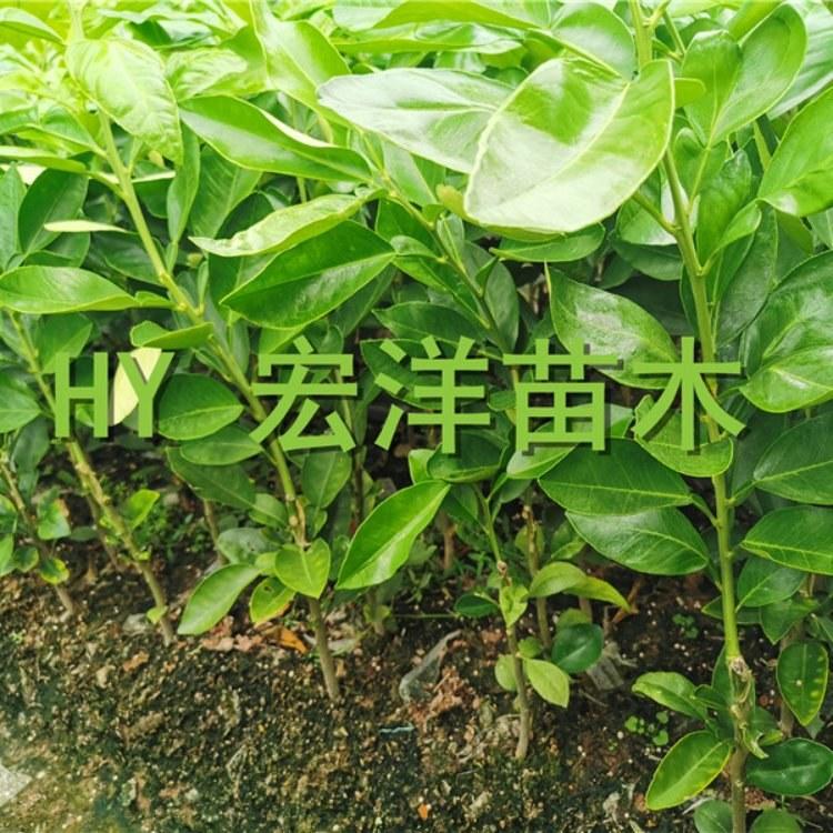 泰国红宝石青柚苗 红宝石柚子种苗