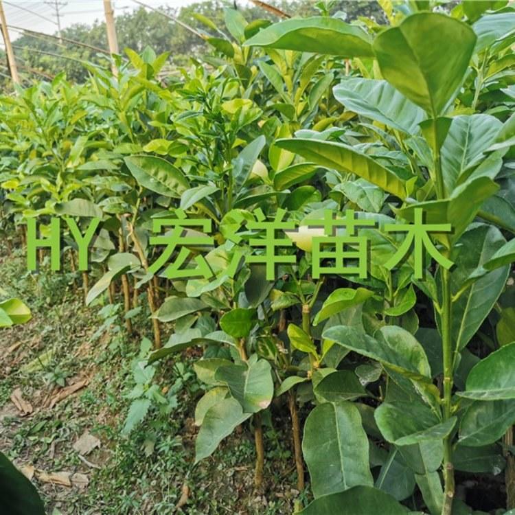 泰国红宝石青柚苗基地 红宝石柚子树苗价格