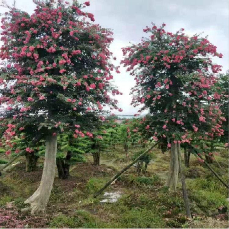 紫薇树花苗-紫薇树苗 五年苗 订购生产商