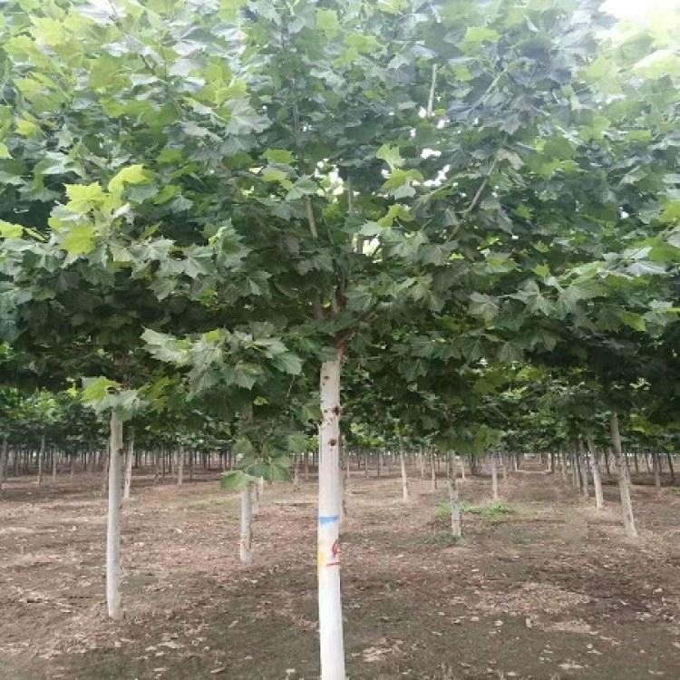 群林苗木供应14-18cm法桐的价格