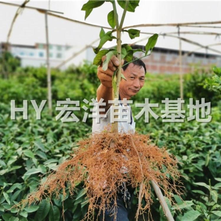 台湾甜葡萄柚苗基地 宏洋苗木供应