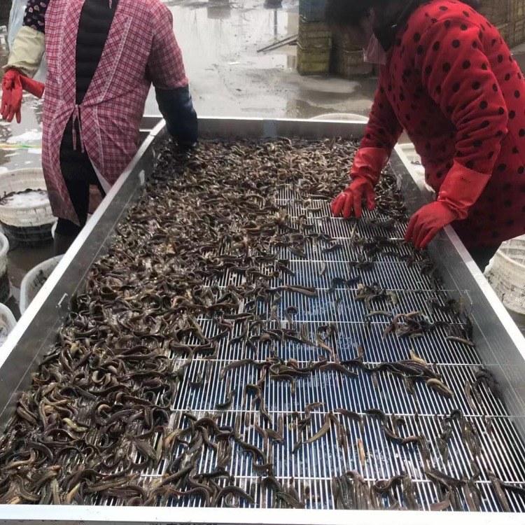 鼎诚水产 正品台湾泥鳅苗