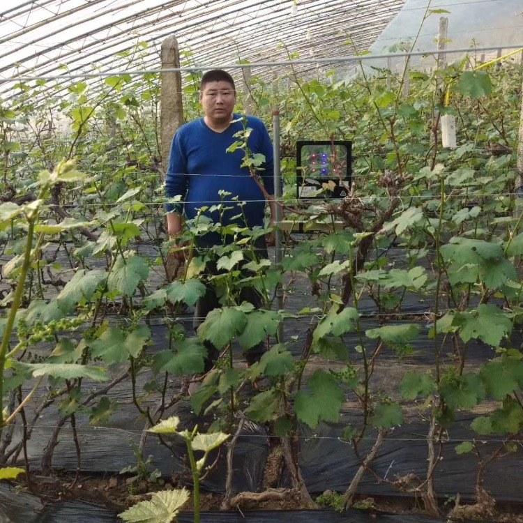 激光植物补光灯 一亩地一个灯 一个月三度电 大棚西红柿补光灯 提前上市 增产30%