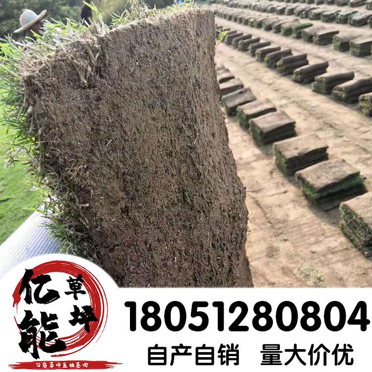 无土高羊茅草坪品种丰富