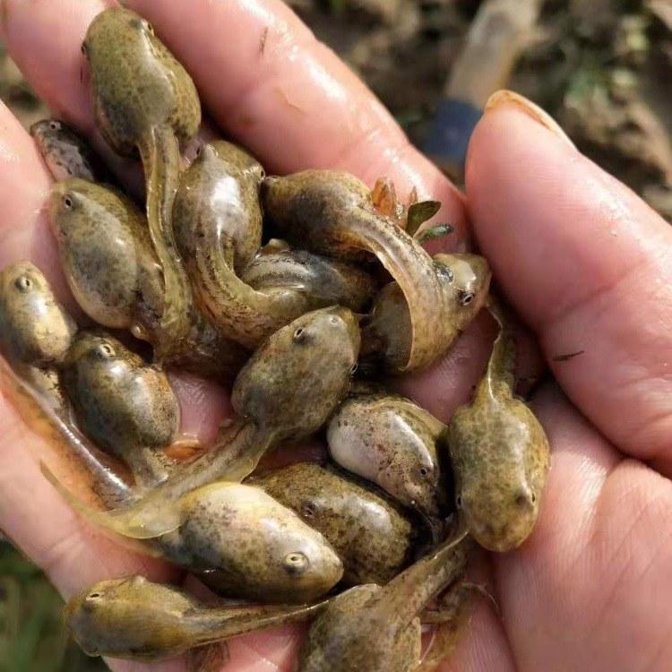 黑斑蛙种苗养殖基地-盐城稻蛙源专业提高青蛙幼苗蝌蚪卵团成活率-青蛙苗养殖优质公司