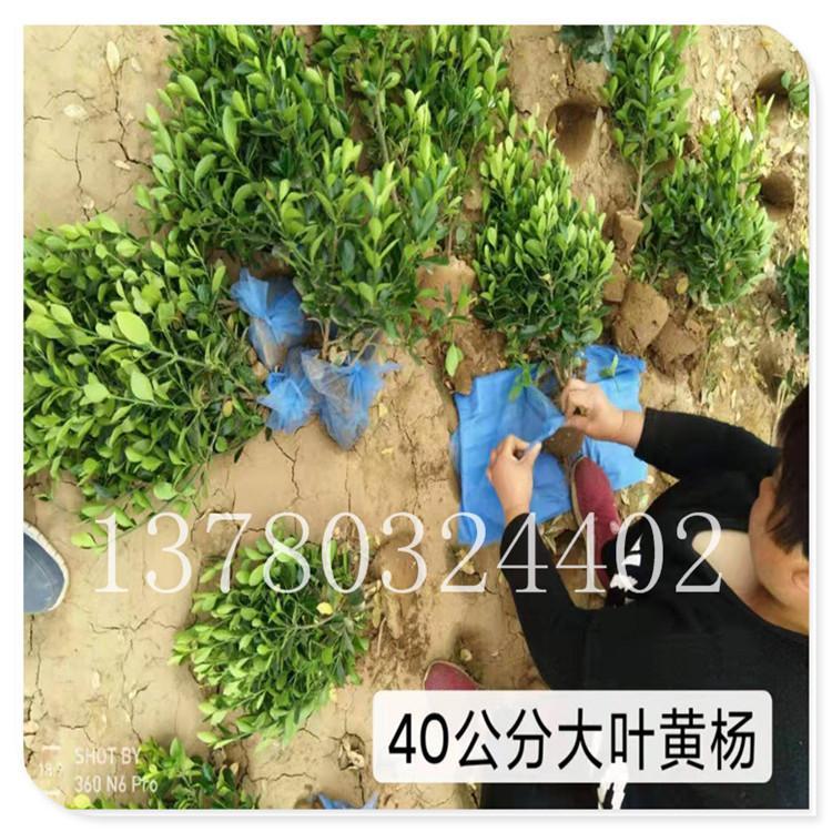 提供优质 大叶黄杨 临朐卫矛 基地现挖 成活率高