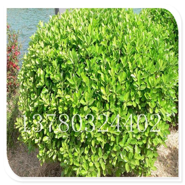 基地直销 招远瓜子黄杨 瓜子黄杨 常绿性灌木 园林绿化