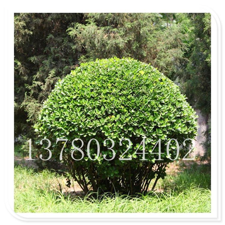 基地直销 烟台大叶黄杨 瓜子黄杨 基地现挖 成活率高