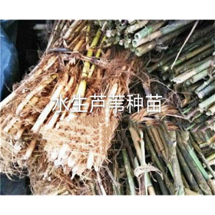 芦苇苗-白洋淀芦苇苗零售价-河北芦苇苗