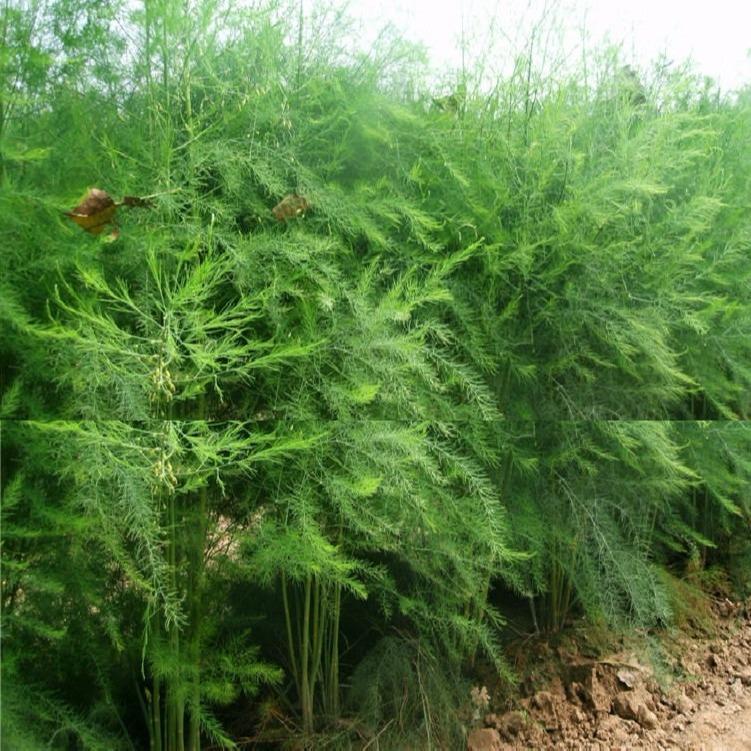 益农高科 绿芦笋苗基地 绿芦笋苗批发 种类全 品种纯