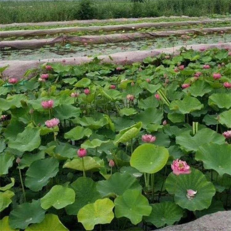 淀美水生植物荷花苗种植基地荷花种苗