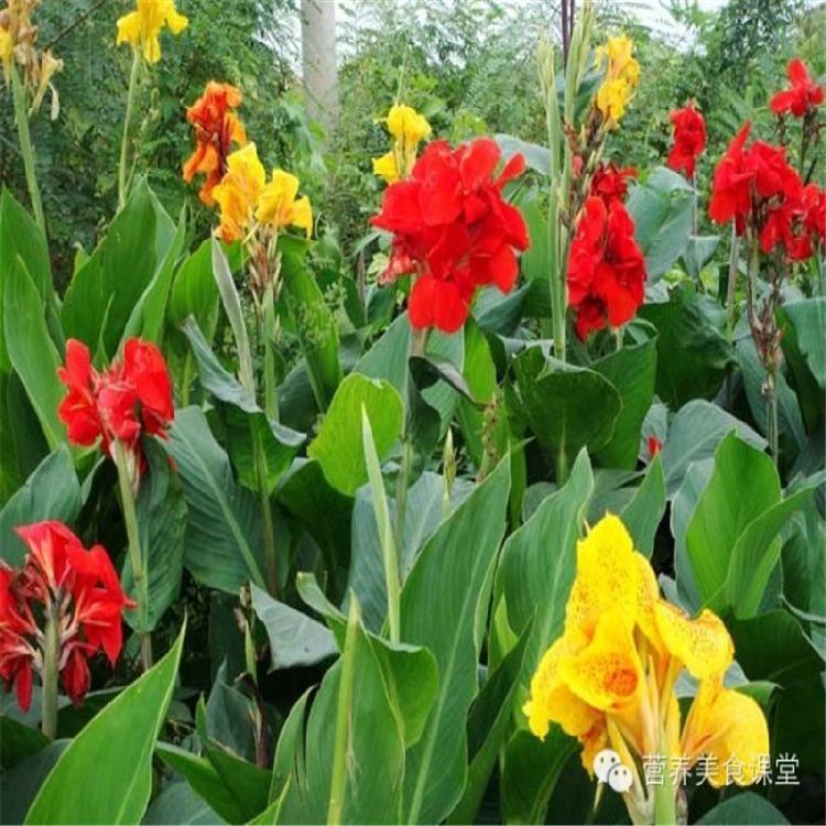 绿景水生 美人蕉厂家 美人蕉苗价格 种类繁多