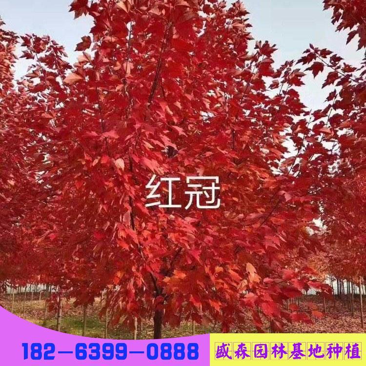 美国红枫-盛森园林种基地-14公分美国红枫价格-美国红枫树价格表