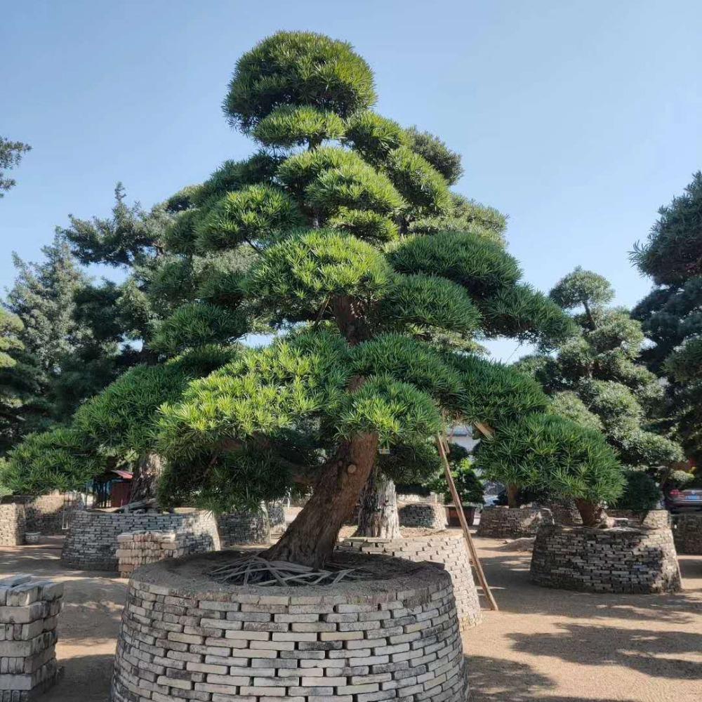 日本罗汉松 进口造型罗汉松 别墅庭院绿化树选光辉进口松
