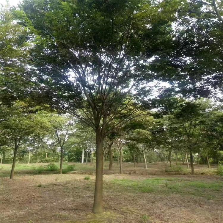 各种规格榉树批发 榉树苗价格 山禾苗圃