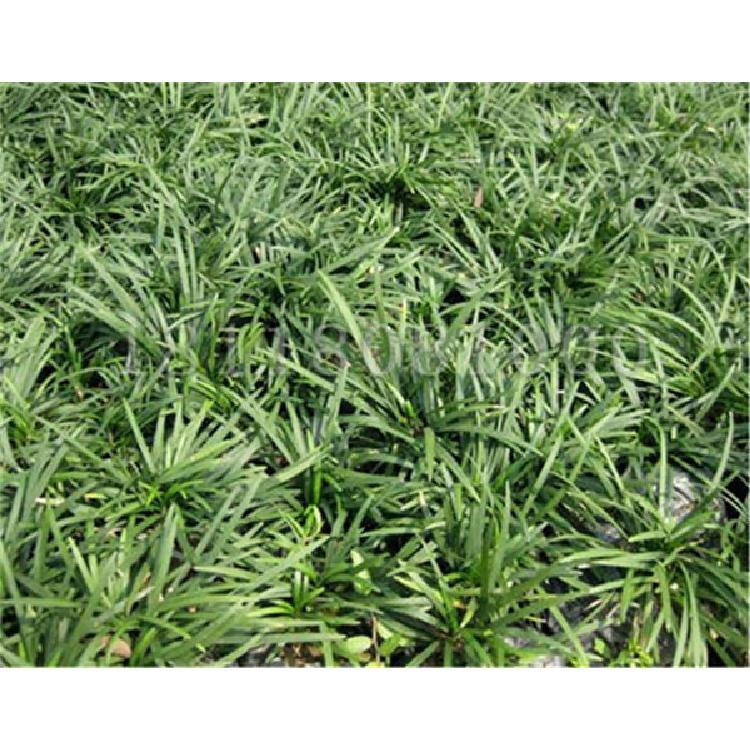 广西草坪种子种子图片