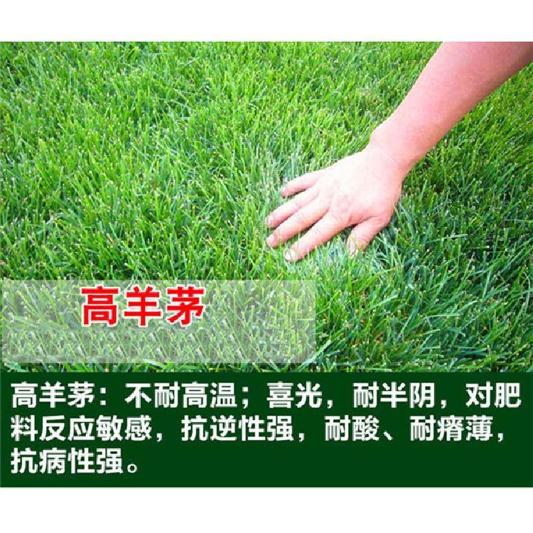 新疆草坪种子种子批发