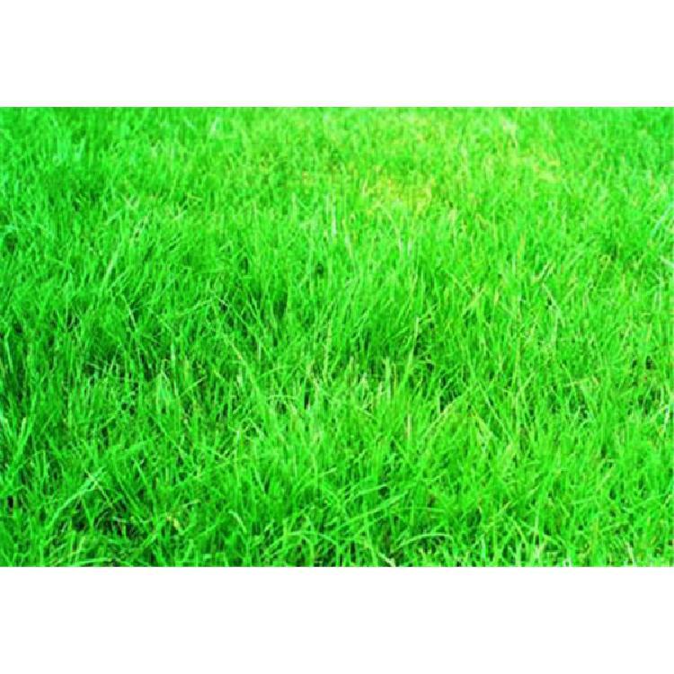 宁夏草坪种子种子热线
