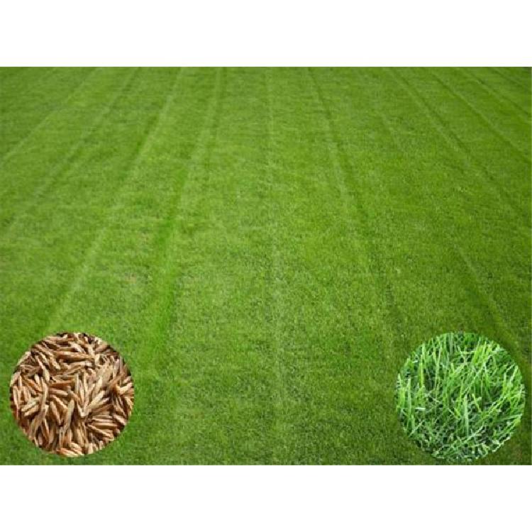 广西草坪种子种子热线