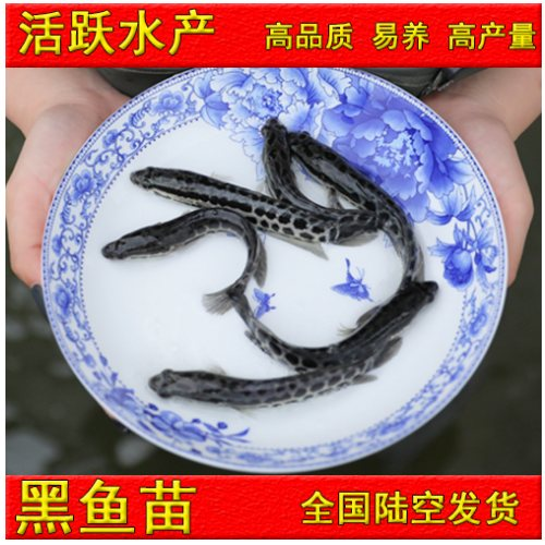 哪里可以买淡水黑鱼苗出售