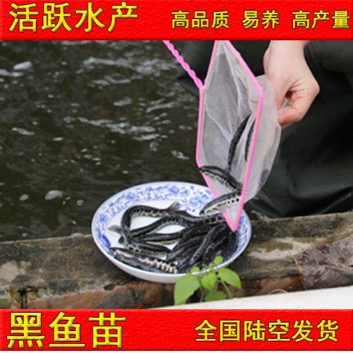 佛山活泼水产 哪里有卖养殖黑鱼苗购买 养殖黑鱼苗多少钱