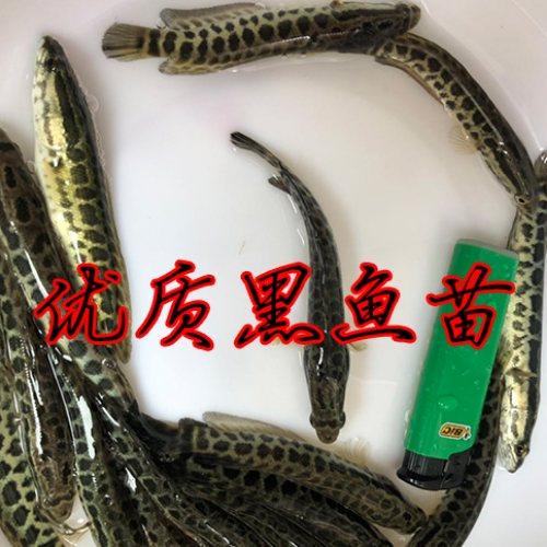 佛山优质黑鱼苗批发 佛山活泼水产 优质黑鱼苗费用
