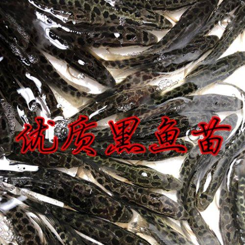 佛山活泼水产 优质黑鱼苗哪里有卖 佛山优质黑鱼苗费用