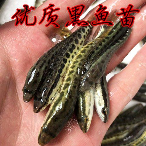 佛山活泼水产 广州小黑鱼苗哪里有卖 广州小黑鱼苗供应
