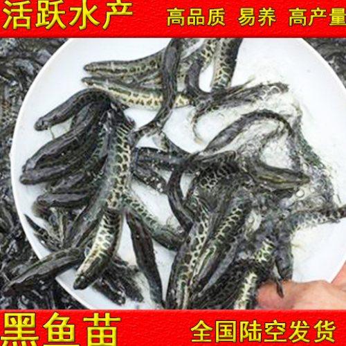 养殖黑鱼苗费用 养殖黑鱼苗供应 佛山活泼水产