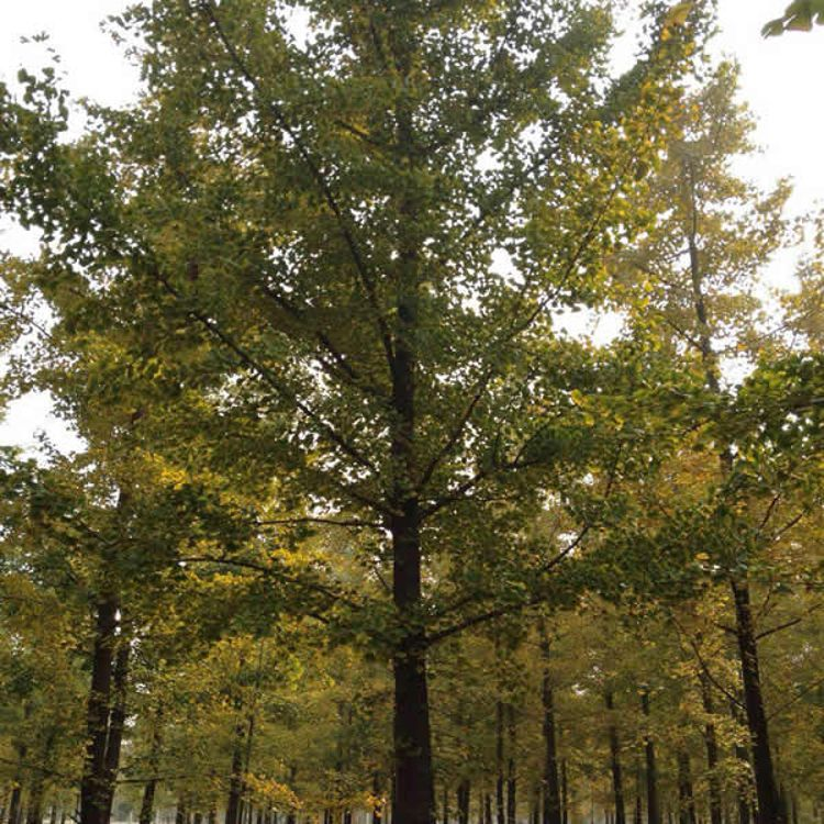 实生白果树哪里有 供应实生白果树价格表 鑫洋银杏