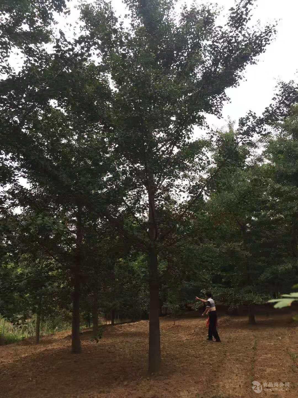 青岛胸径30公分皂角树价格-70公分以上皂角树价格直径50公分皂角树价格